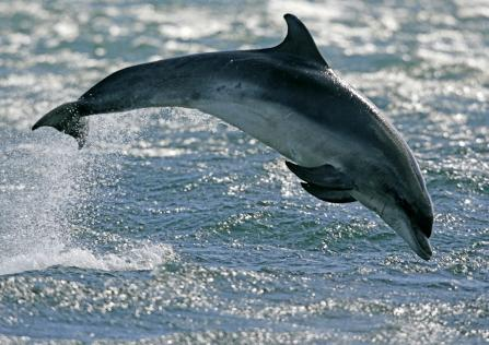 Bottlenose dolphin jumping from the water