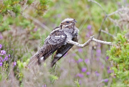 Nightjar sitting among the heather at Chudleigh Knighton Heath