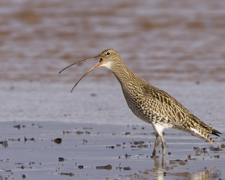 Curlew in wet sand