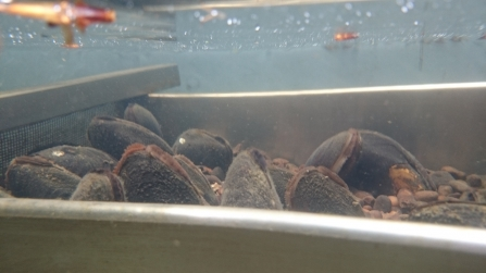 Freshwater pearl mussels in tank