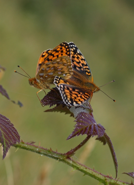 Dark green fritillaries resting on a bramble