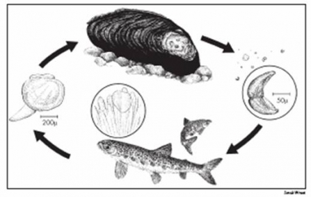 Freshwater pearl mussel lifecycle diagram