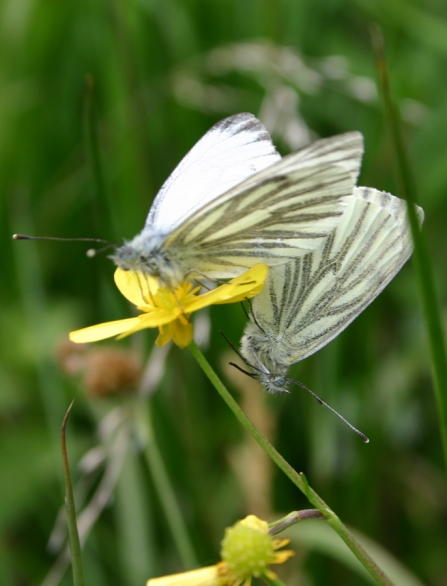 Green-veined white butterfly at Woods Farm