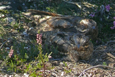 Two nightjars in the heather at Bovey Heathfield