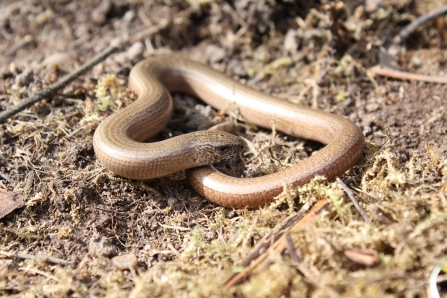 Slow worm curled up at Clayhidon Turbary
