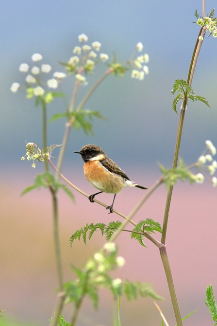 Stonechat resting on cows parsley
