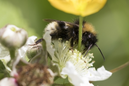 White tailed bumblebee resting on a blackberry flower
