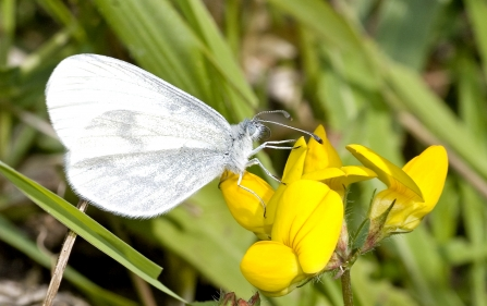 Wood white butterfly settled on a gorse flower
