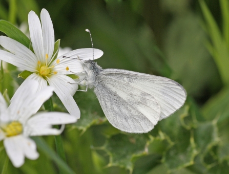 Wood white butterfly on a stitchwort flower at Ash Moor