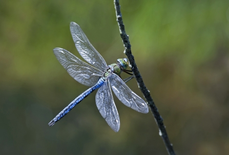 Blue dragonfly clings to a stick