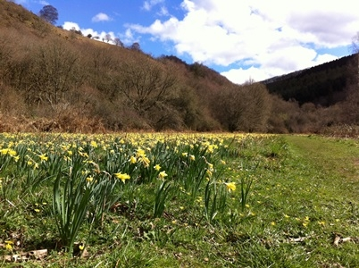 Daffodils growing at Dunsford nature reserve