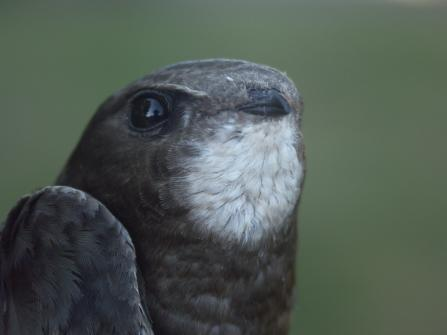 Swift close up