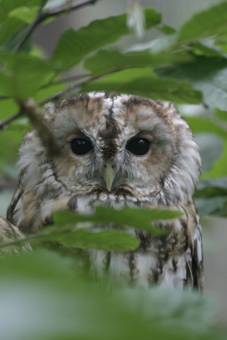Tawny owl among the leaves