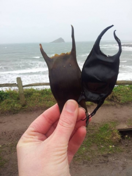Mermaid's purse at Wembury beach
