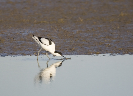 Avocet feeding in the water