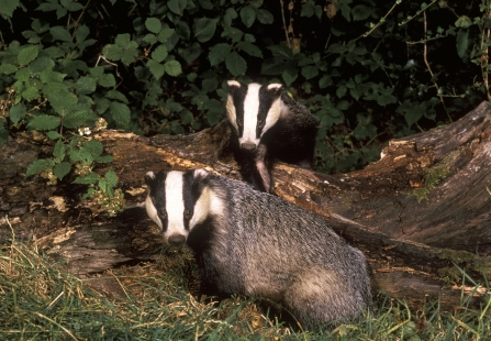 Two badgers sat on a log in a thicket