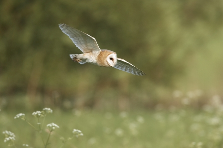 Barn owl soaring through the sky