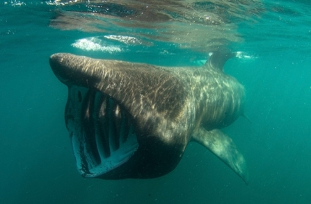 Basking shark in the ocean