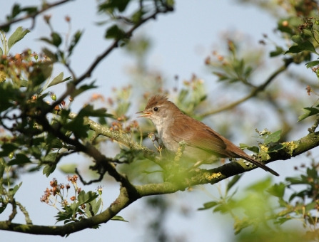 Cetti's warbler in a tree