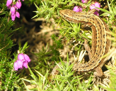 Common lizard basking in the sun in the heather