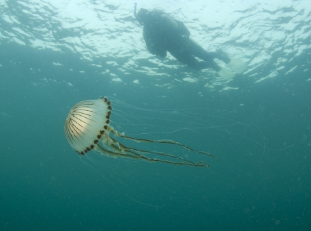 Compass jellyfish near Thurlestone