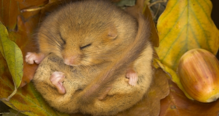 Dormouse curled up in a nest