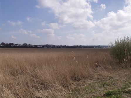 Exe reed beds