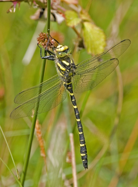 Golden-rifgned dragonfly, yellow and black hangs from rush stem