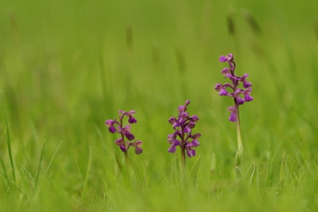 Three green winged orchids in a grassy field