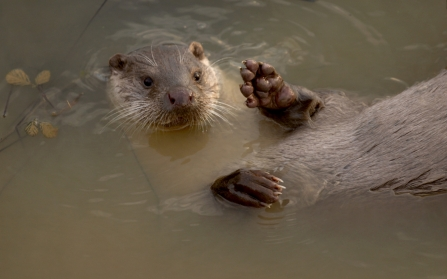 Otter in the river