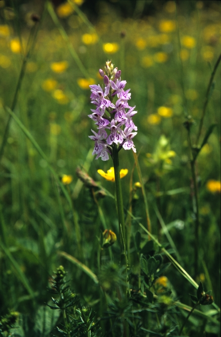 Heath spotted orchid in wild flower meadow