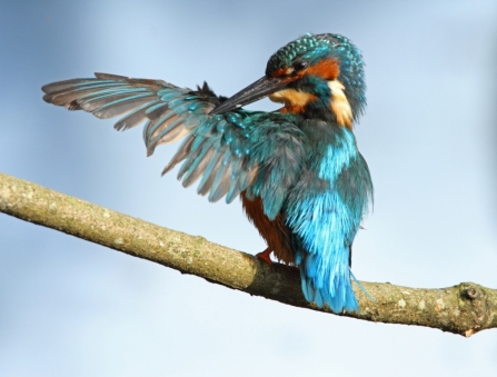 Kingfisher grooming its wings