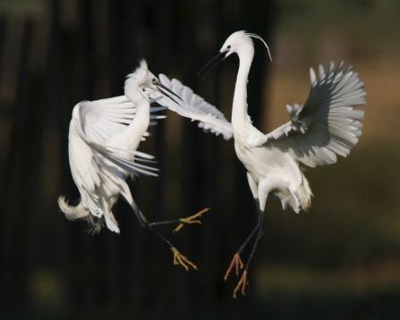 Two little egrets fighting