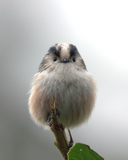 Long-tailed tit sits on twig facing camera