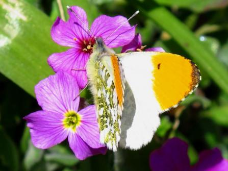 Orange-tip butterfly on a red campion flower