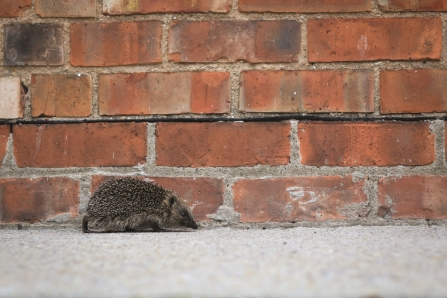 Hedgehog walking alongside a wall