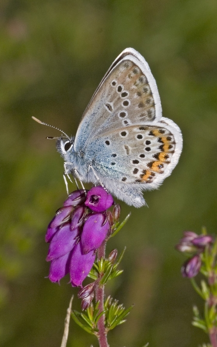 Silver-studded blue butterfly resting on heath