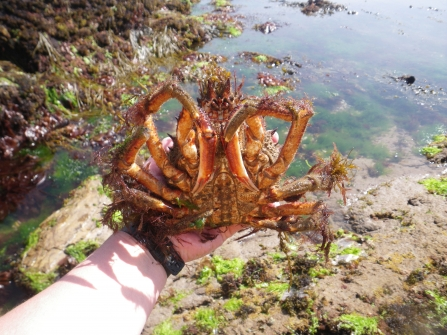 Person holding a spider crab at Wembury