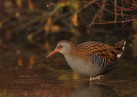 Water rail wading through the water