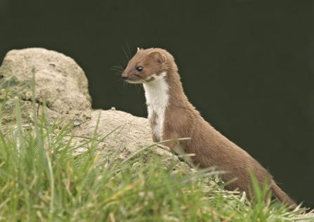 Weasel stands on a stone in grassland