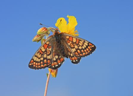Marsh fritillary butterfly on flower