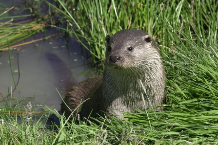Otter in the grasses next to the river