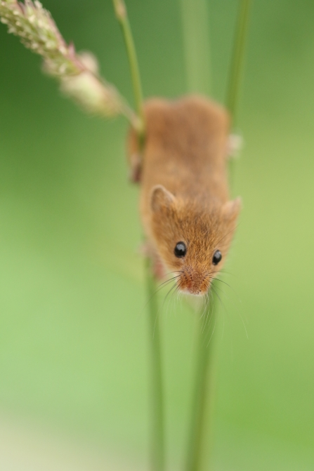 Harvest mouse head down on grass stem