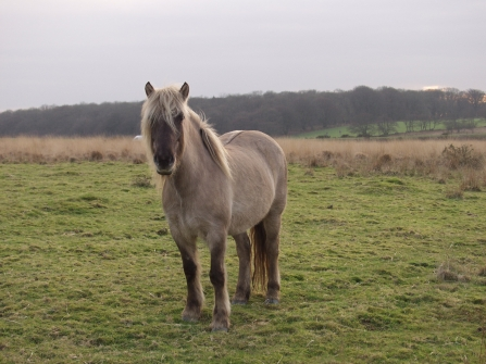 Pony at Rackenford and Knowstone nature reserve