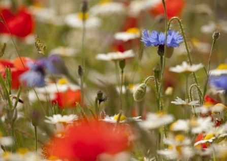 Poppies and cornflowers in a wildflower meadow