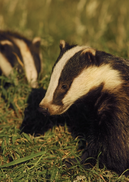 Two badgers in the grass