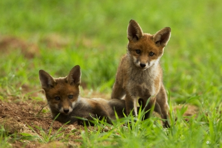 Two fox cubs playing