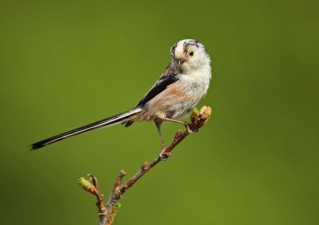 Long tailed-tit on a branch