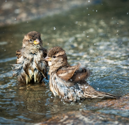 Bath Time -Two young sparrows enjoying a bath in a puddle