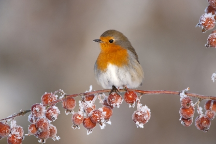 Robin perched on frosty crab apples